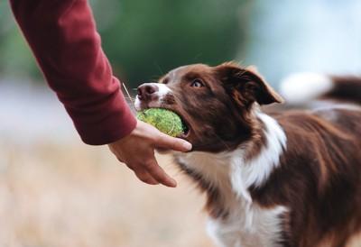 咥えたボールを飼い主に渡そうとする犬