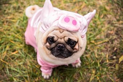 豚の着ぐるみを着たパグ