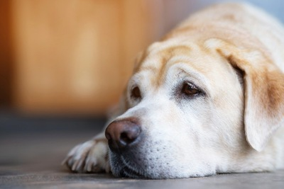 床に顔をつけている犬