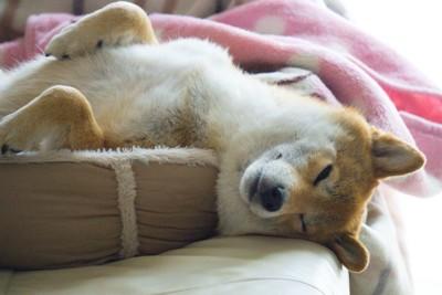 ベッドから頭が出たまま眠っている柴犬