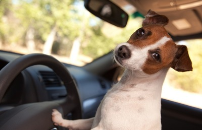 運転をしている犬