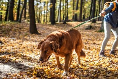 リードを引っ張る茶色い犬