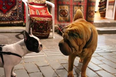 見つめ合っている二匹の犬