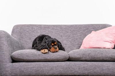 ソファーの上から見つめる犬