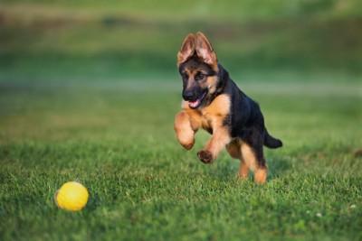 ボールを追いかけるシェパードの子犬