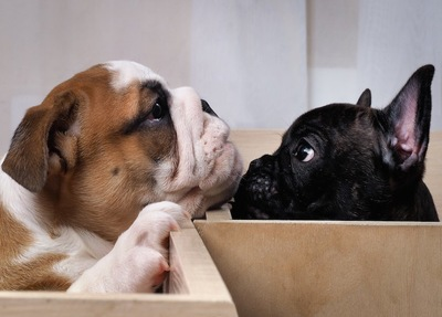 見つめ合う二匹の子犬のブルドッグ