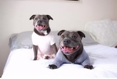 ベッドで笑ってこちらを見る犬たち
