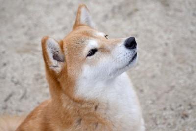 見上げる柴犬
