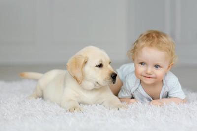 カーペットの上に伏せるラブラドールの子犬と赤ちゃん