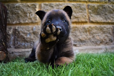 クマみたいな犬