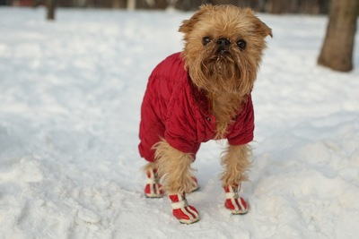 くつをはいて雪上に立つ犬