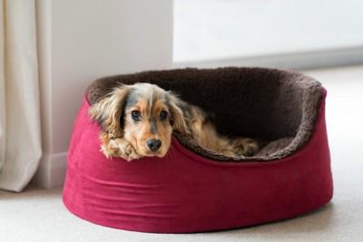 犬用ベッドから見つめる犬