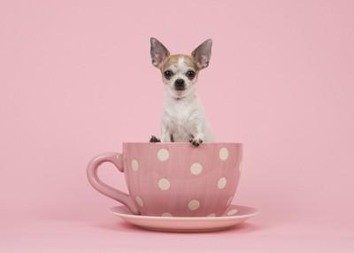 ピンク色のカップに入るチワワ