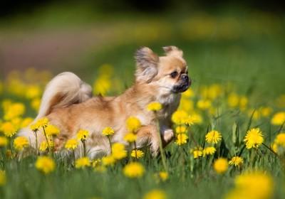 黄色い花の中のチベタンスパニエル