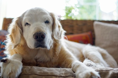ソファーの上で眠そうな老犬