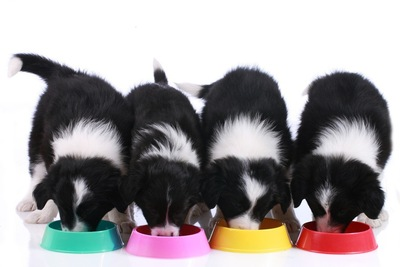 ドッグフードを食べる4頭の仔犬