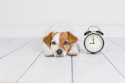 時計の隣で伏せている犬