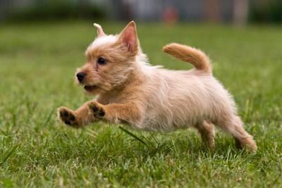 芝生の上を走る子犬