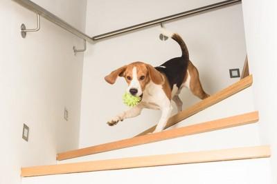 おもちゃをくわえて階段をかけおりるビーグル
