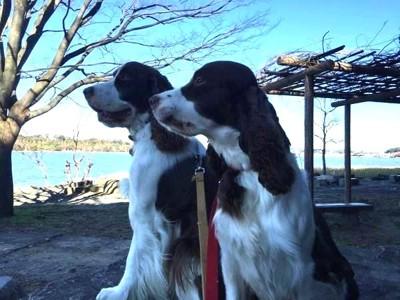 遠くを見つめる二匹の犬