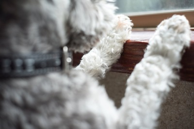 窓の外を見つめる犬のアップ