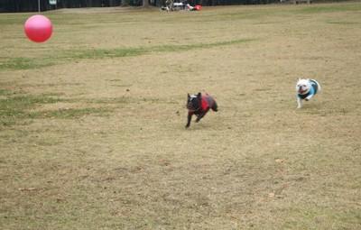 フレブル2匹がボール遊びでこっちに向かって走る写真
