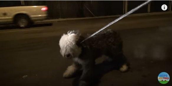 リードに抵抗する犬