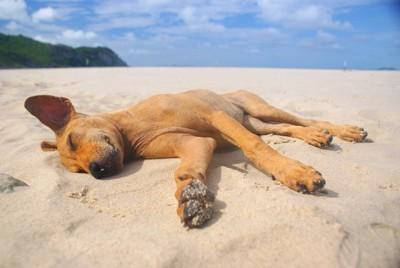 砂浜の上で横たわって寝る茶色い犬