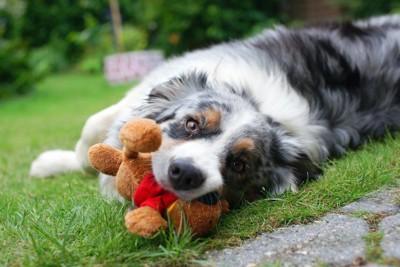芝生の上でぬいぐるみをくわえて寝転ぶ犬