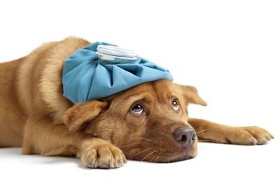 頭にアイスパックを乗せた犬
