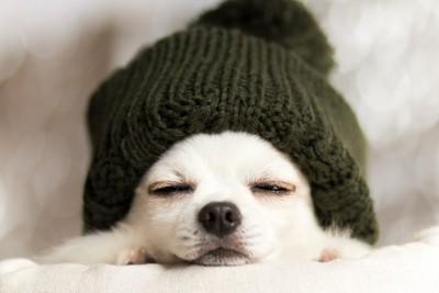 布団と帽子を被って寝るチワワ