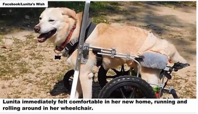 車椅子を使う犬