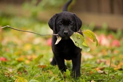 葉っぱをくわえる犬