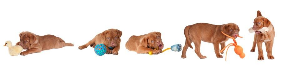 いろんなおもちゃで遊ぶ子犬