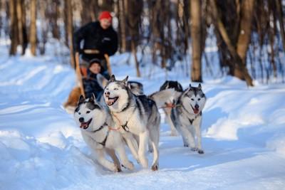 イヌゾリを引くハスキー犬たち