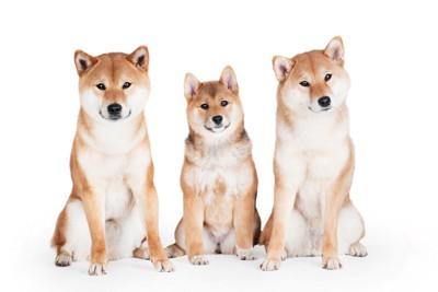 並んで座っている3頭の柴犬