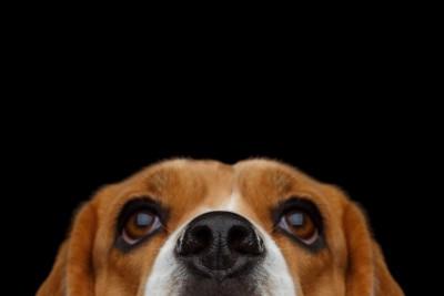 ビーグル犬の顔アップ