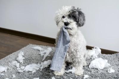 散らかった部屋で靴下をくわえる犬