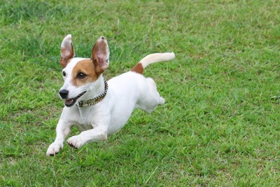 芝生を飛ぶように走る犬