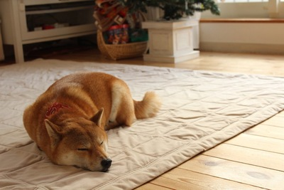 床に敷かれたマットの上で眠る柴犬