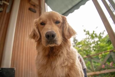 不機嫌な顔の犬
