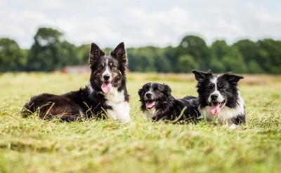 草原にいる三匹のボーダーコリー