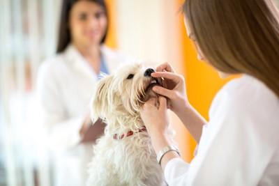 病院で口元を診察されている犬