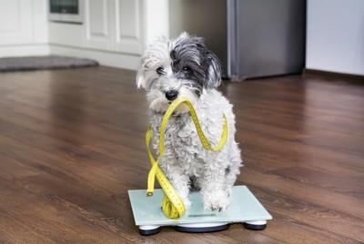 体重計に座りメジャーが巻き付いた犬