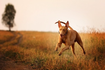 草原を走るファラオハウンド