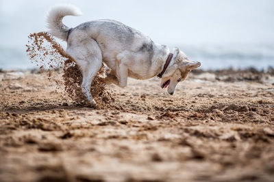 砂浜で穴を掘るハスキー犬