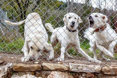 吠える3匹の白い犬