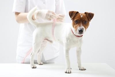 病院でお腹周りを測られている犬