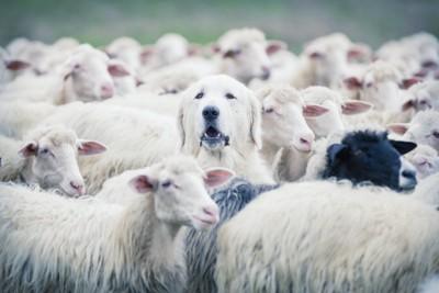 羊に混ざってしまった犬