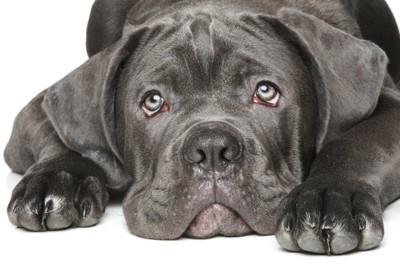 上目遣いをするイタリアンコルソドッグの子犬